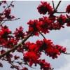 প্রাকৃতিক সাবান শিমুল ফুল