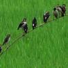 উপকূলীয় এলাকায় ধানক্ষেতে পোকা দমনে পরিবেশবান্ধব পার্চিং পদ্ধতির ব্যবহার বৃদ্ধি পাচ্ছে