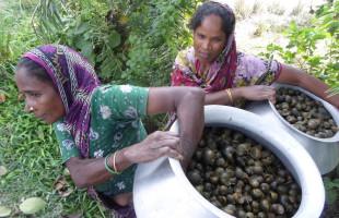 চলনবিলে শামুক নিধন বন্ধ করার উদ্যোগ নিন