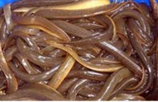 উপকূলীয় প্রান্তিক মানুষের মৌসুমী পেশা কুচে মাছ ধরা