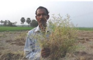 দুবইল থেকে সাহপুর : মুসুর ডালের যাত্রা