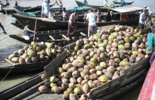 কাউখালীতে নারিকেলের ন্যায্য দাম মিলছে না