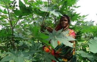 ভেন্না একটি অসাধারণ ভেষজই শুধু নয়, খাদ্য উপাদানও