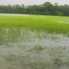 মঠবাড়িয়ায় আমন বীজতলা জলমগ্ন: বীজ সংকটের আশংকা কৃষকের