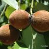 'বিলাতি গাব' গবেষণায়  সম্ভাবনার  নতুন দ্বার