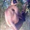 তানোরে লোকালয়ে হনুমান : পাতা-লতা খেয়ে জীবন-যাপন