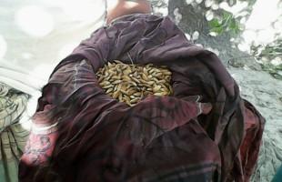 ধানবীজ অঙ্কুরোদগমের লোকায়ত পদ্ধতি
