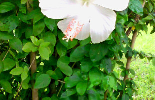 মনিকগঞ্জে দিন দিন কমে যাচ্ছে শুভ্র  হাসির শ্বেত জবা