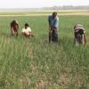 পেঁয়াজে স্বপ্ন বুনছেন মানিকগঞ্জের কৃষকরা