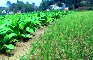 মানিকগঞ্জে 'তামাক' চাষ বৃদ্ধি: হুমকির মুখে জনস্বাস্থ্য ও জমির উর্বরাশক্তি