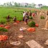 গাজরের হাসিতে হাসছে মানিকগঞ্জের কৃষকরা