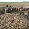 আলু চাষে অতিরিক্ত রাসায়নিক সার ব্যবহারে মাটির স্বাস্থ্য নিয়ে চিন্তিত বরেন্দ্র অঞ্চলের কৃষকরা