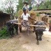 বরেন্দ্র অঞ্চলের কৃষিব্যবস্থায় মহিষ একটি অত্যাবশ্যকীয় অনুষঙ্গ