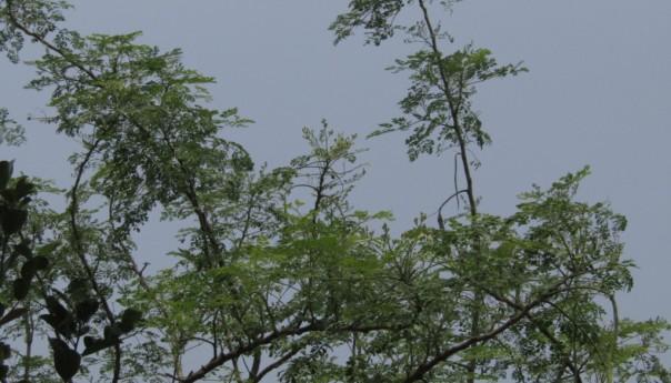 সজিনা : বরেন্দ্র্র অঞ্চল উপযোগি খাদ্য ও ঔষধি বৃক্ষ