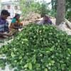 মানিকগঞ্জে উচ্ছে চাষে স্বাবলম্বী ২০০ কৃষক