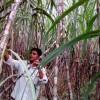 খরাপ্রবণ বরেন্দ্র অঞ্চলে আখ চাষের বিপুল সম্ভাবনা