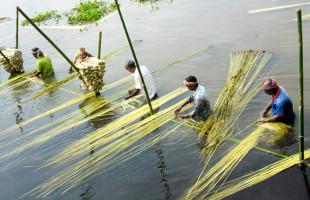 সোনালি আঁশে রঙিন স্বপ্ন দেখছে মানিকগঞ্জের কৃষকরা