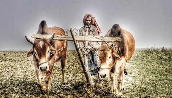 বিলুপ্তির পথে বাঙালির চিরচেনা ঐতিহ্য কাঠের লাঙল