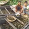 অবাধে শামুক নিধন ধ্বংস করছে চলনবিলের প্রাণবৈচিত্র্য