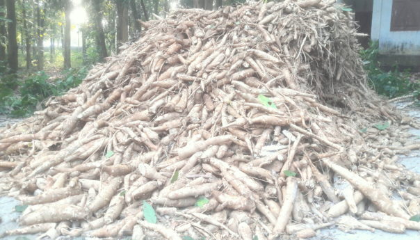 কুমিল্লার কোটবাড়ি পাহাড়ে কাসাবা আলুর চাষ