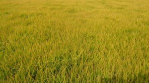 Rice paddy Field-2