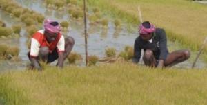 Rice Paddy Field-3