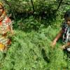 নারীদের শ্রমে ঘামে হাসছে শীতের ফসল