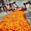 মানিকগঞ্জে  গাজর বিপ্লব! রপ্তানি হচ্ছে বিদেশে