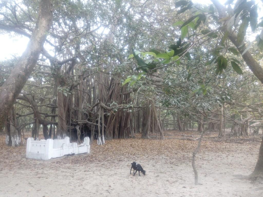 Banian Tree (1)
