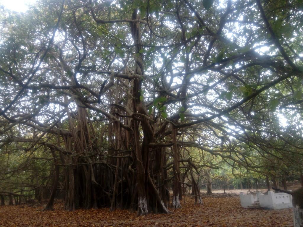 Banian Tree (2)