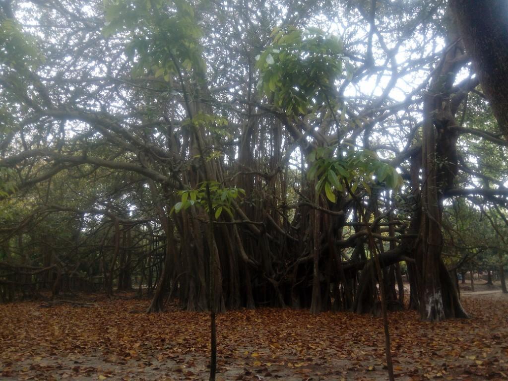 Banian Tree (3)