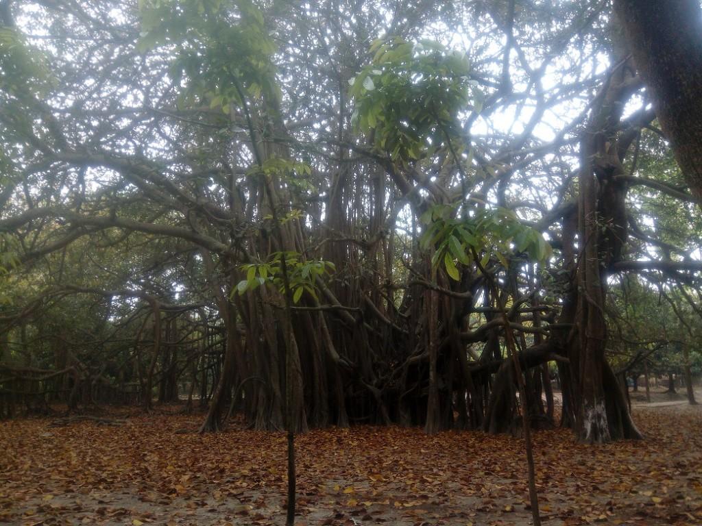 Banian Tree (4)