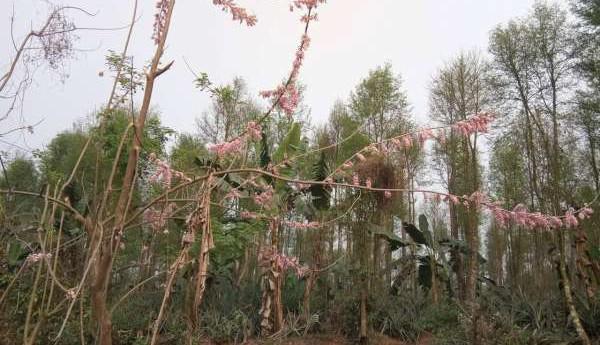 জীবন্ত বেড়া ও সৌন্দর্য বিস্তারে ফাল্গুনী মালঞ্চি বৃক্ষ