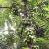 চৈত্রদিনের মুখোরোচক ফল বিলিম্বি