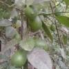 গরমে প্রশান্তি আনে কাগজি লেবু