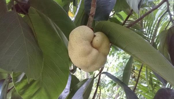 হারিয়ে যাচ্ছে সুস্বাদু ফল ডেবু