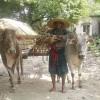 সাতক্ষীরায় হারিয়ে যাচ্ছে 'গরুর গাড়ি'