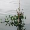 অচাষকৃত উদ্ভিদ ব্যবহার করে মাছ ধরার 'জাইট' পদ্ধতি