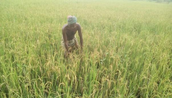 দু'কাটি ধানে কৃষকের হাসি