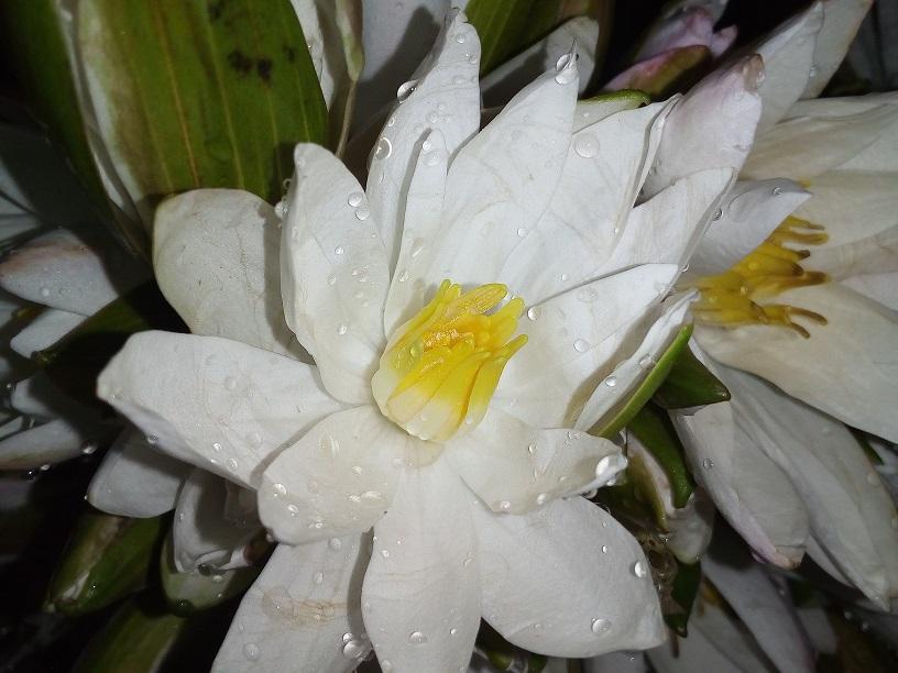Shapla Flower 1