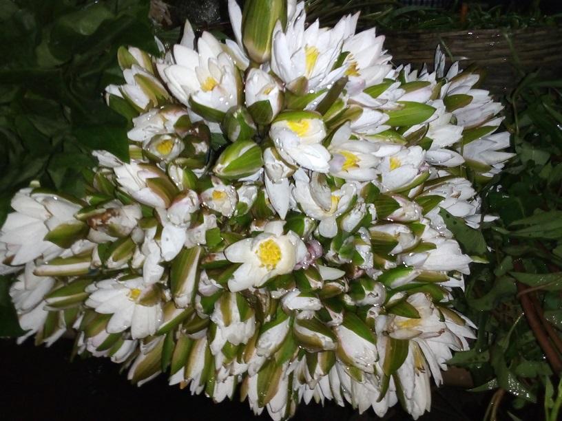Shapla Flower 2