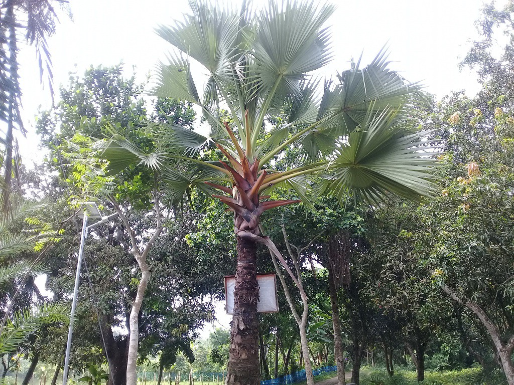 Palm Fruit 3