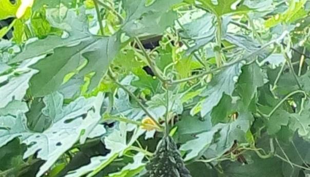 ঔষধি গুণে ভরা সবজি 'করলা'