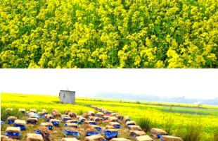 মানিকগঞ্জে সরিষা ফুলের হলুদ রঙে সেজেছে ফসলের মাঠ