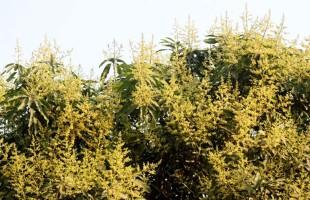 বাতাসে ভেসে বেড়ায় মুকুলের মিষ্টি ঘ্রাণ