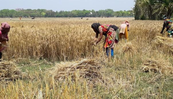 উৎপাদন খরচ কমাতে শ্যামনগরে গম চাষের দিকে ঝুঁকেছেন কৃষকরা