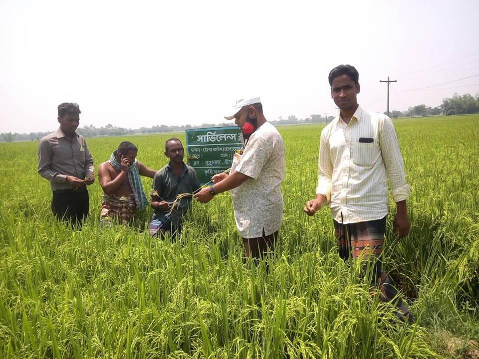 Tanore laughs golden rice Photos-02 26.04.2019