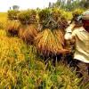এক মণ ধানের দামেও মিলছে না একজন শ্রমিক বাম্পার ফলনেও চিন্তিত ঘিওরের কৃষকরা