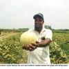 পুষ্টিগুণ সমৃদ্ধ সুস্বাদু বিদেশী ফল 'ক্যান্টালোপ' চাষ হচ্ছে পাবনায়