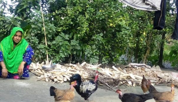 নেত্রকোণায় দেশীয় জাতের মোরগ-মুরগি'র প্রায়োগিক গবেষণা